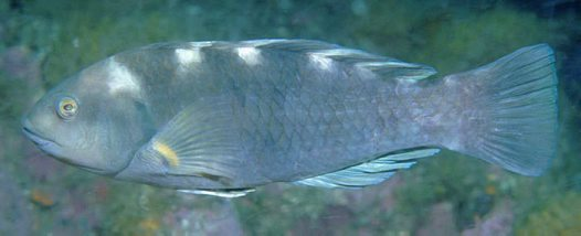 Purple Wrasse at Montague Island