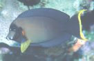 A Mimic Surgeonfish at Great Detached Reef