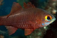 Moluccan Cardinalfish at Lembah Strait