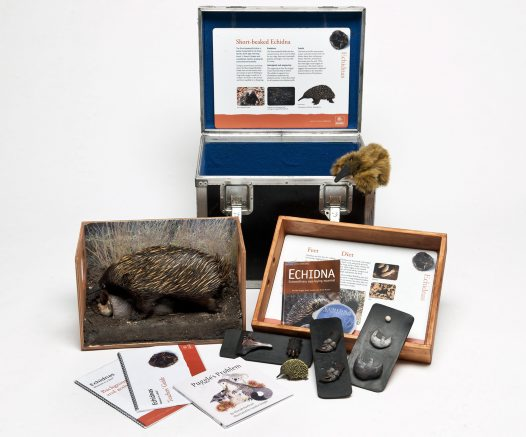 Museum in a Box - Echidnas