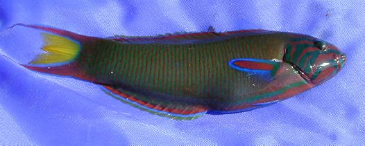 Moon Wrasse caught at Hook Island