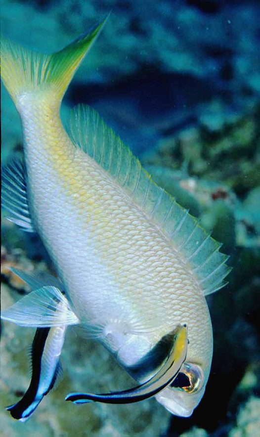 Bridled Monocle Bream, Scolopsis affinis
