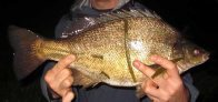 Silver Perch caught in Canberra