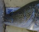 The head of a Murray Cod