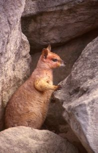The purple-necked rock-wallaby