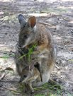 Tammar Wallaby (<em>Macropus eugenii</em>)