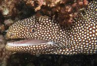 Whitemouth Moray, Gymnothorax meleagris