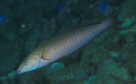 Pastel Slender Wrasse at North West Solitary Island
