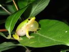 Calling male Eastern Dwarf Tree Frog