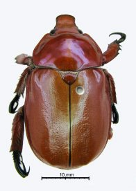Christmas beetle (Anoplognathus sp.)