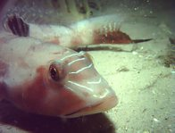 Pinkbanded Grubfish at night