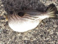 Narrow-lined Pufferfish, Arothron manilensis