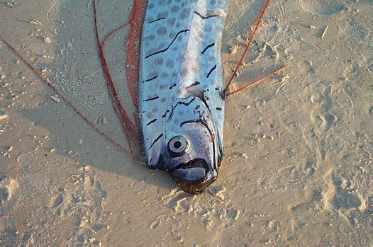 An Oarfish on the shore south of Tampa Bay, Florida