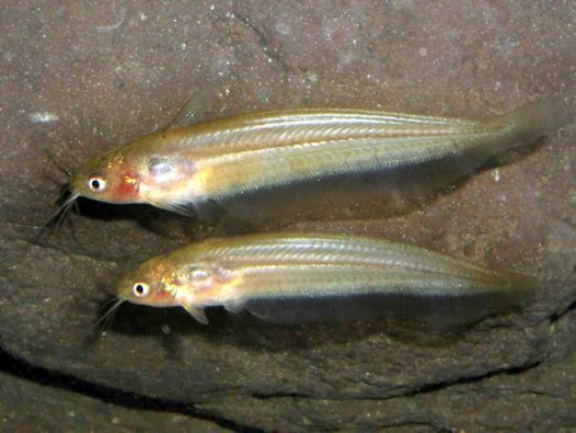 Two Obbes' Catfish in an aquarium