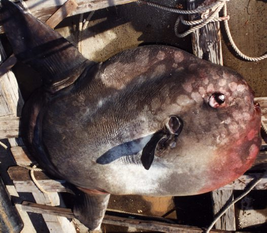 Ocean Sunfish viewed from above
