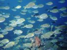 A school of Onespot Pullers at Pig Island