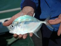 An Onion Trevally caught at Entrance Island