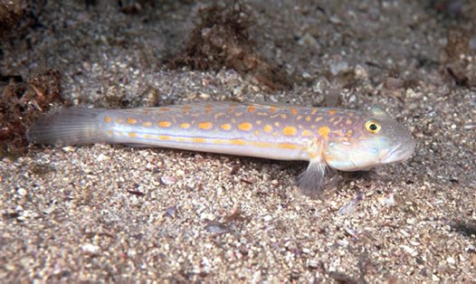 Orangespotted Glidergoby at North Solitary Island