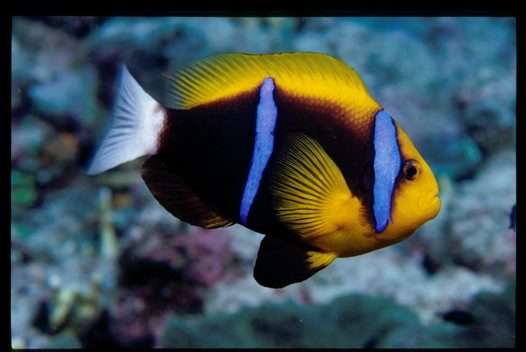 Orange fin anemonefish amphiprion chrysopterus cuvier 1830 australian museum - Anemone species caring color refinement ...