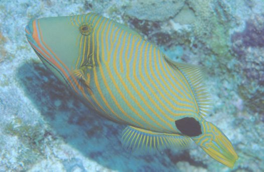 Orangestripe Triggerfish at Challenger Bay