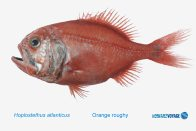 An Orange Roughy trawled during the NORFANZ expedition