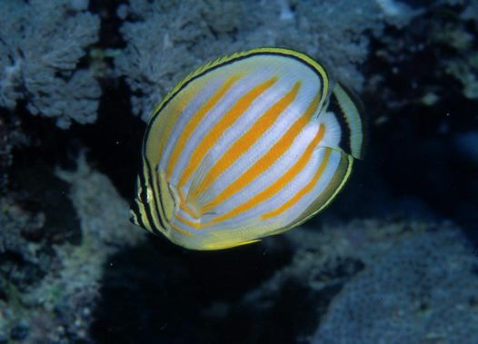 An Ornate Butterflyfish at Tijou Reef