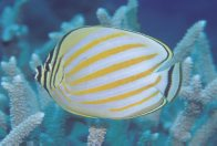 An Ornate Butterflyfish at St Crispin's Reef