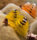Yellow and orange colour morphs of Christmas tree worm (<em>Spirobranchus corniculatus</em>)