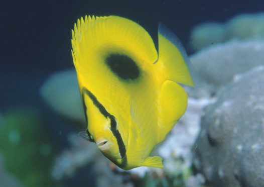 Ovalspot Butterflyfish at Raine Island