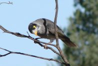 Noisy Miner on the lookout