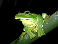 Feae's Tree Frog