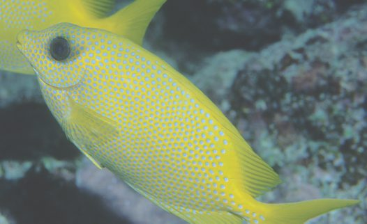 Coral Rabbitfish at 'Challenger Bay'