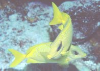 Pair of Coral Rabbitfish at 'Challenger Bay'
