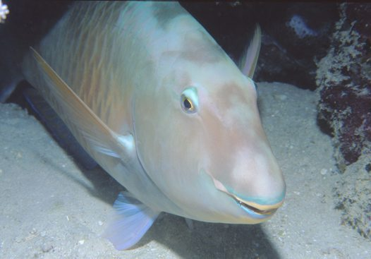 A Pacific Longnose Parrotfish at Mantis Reef