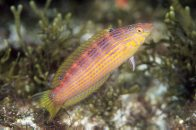 Painted Rainbow Wrasse at North Solitary Island