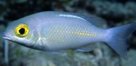 Saw-jawed Monocle Bream, Scolopsis ciliata