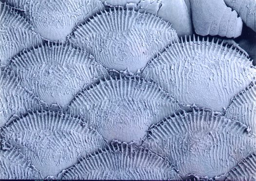 Ctenoid scales of a Paradise Fish