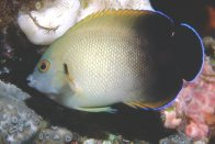 Pearlscale Angelfish at Mantis Reef