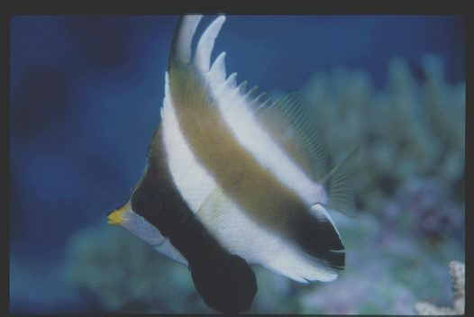 A Pennant Bannerfish at Rapid Horn