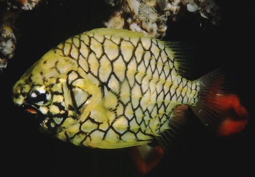 Pineapplefish at Port Hacking