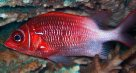 Whitetail Squirrelfish, Sargocentron caudimaculatum
