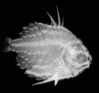 An x-ray image of a 75 mm long Pineapplefish