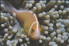 A Pink Anemonefish resting amongst the anemone tentacles