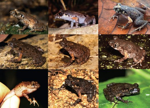 Undiagnosed Cryptic Diversity in Small, Microendemic Frogs (Leptolalax)