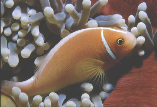 A Pink Anemonefish at Great Detached Reef