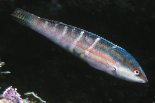 Pinklined Wrasse at North West Solitary Island
