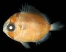 Threadfin Butterflyfish larva