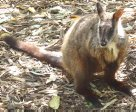 Captive Brush-tailed Rock-wallaby