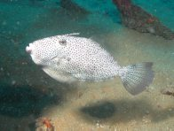 Potbelly Leatherjacket, Pseudomonacanthus peroni