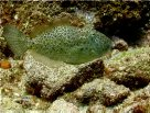 Male Potbelly Leatherjacket